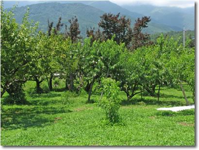 フルーツ農場 あい家 草生栽培で除草剤不使用。草がびっしり