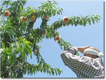 フルーツ農場あい家 ふしぎな桃