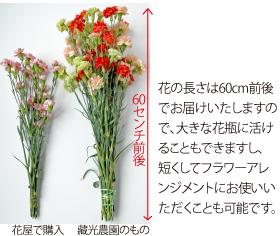 カーネーション花束の長さの比較