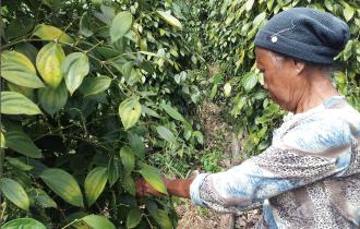 『純胡椒』生胡椒の収穫風景