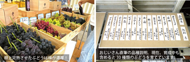 樹上完熟させたぶどうは味が濃厚。30種類のぶどうを栽培。