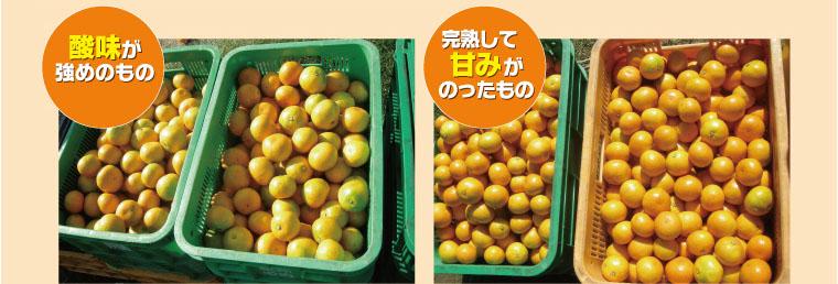 酸味がまだ強めのものを選んで収穫したカゴ(左下)と、 完熟して甘みがのったものを選んで収穫したカゴ(右下)。