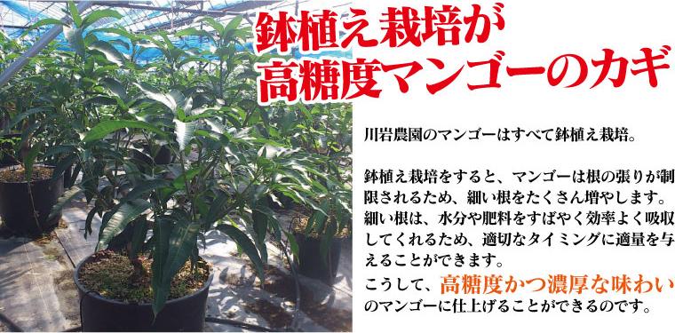 鉢植え栽培が高糖度マンゴーの鍵