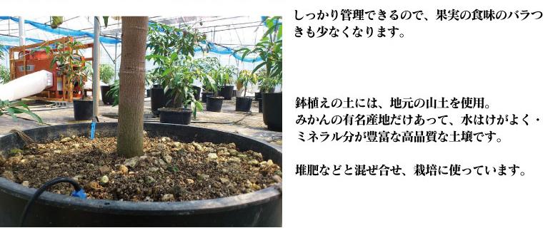 鉢植えの土には地元の山土を使用。有田みかんの産地だけあって、ミネラル豊富な高品質の土壌