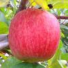石岡りんご園「葉とらずふじ」