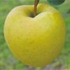 石岡りんご園「星の金貨」