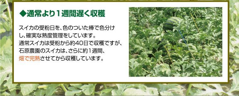 通常より1週間遅く収穫。通常スイカは受粉から約40日で収穫ですが、石原農園のスイカはさらに約1週間畑で完熟させてから収穫します。