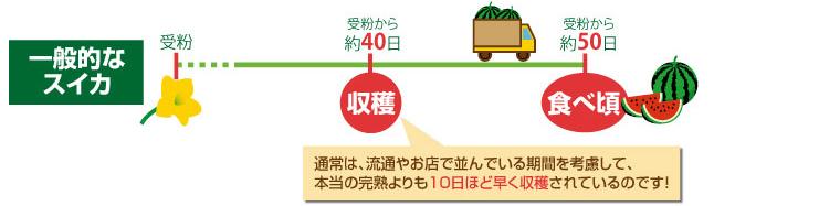 一般的なスイカは、流通やお店で並べられている期間を考慮して、本当の完熟よりも10日ほど早く収穫されているのです。