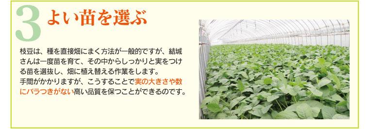 よい苗を選ぶ。実の大きさや数にばらつきがない高い品質を保つことができる。