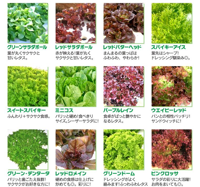 バラエティレタス 品種紹介