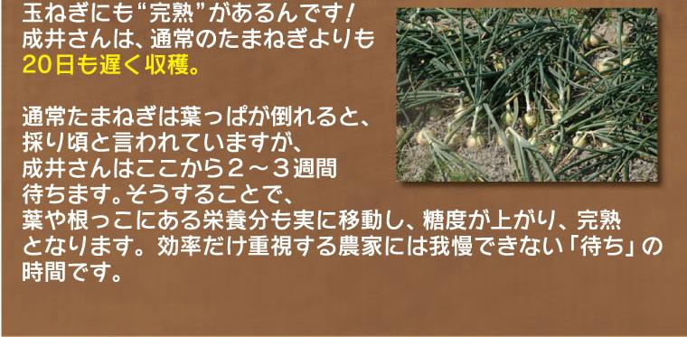 成井さんは通常のたまねぎよりも20日も遅く収穫。葉や根っこにある栄養分も実に移動し、糖度が上がり、完熟となります。