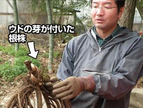 ウドの根株。小さな芽が付いています。